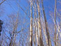 Blue sky and birches